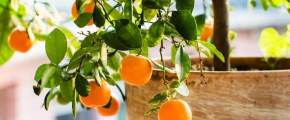 3 Fruit Trees You Can Grow In Your Home - Eat the Globe